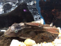 L137 Blue Eyed Red Fin Pleco (Hypostomus soniae)