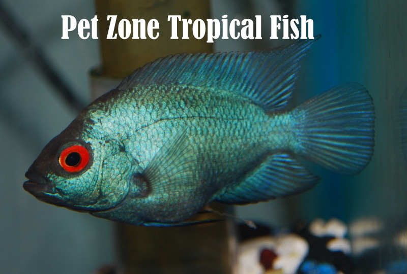 Crossbreed cichlid thai silk flowerhorn fry for sale for Flower horn fish price