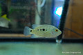 Green Texas Cichlid