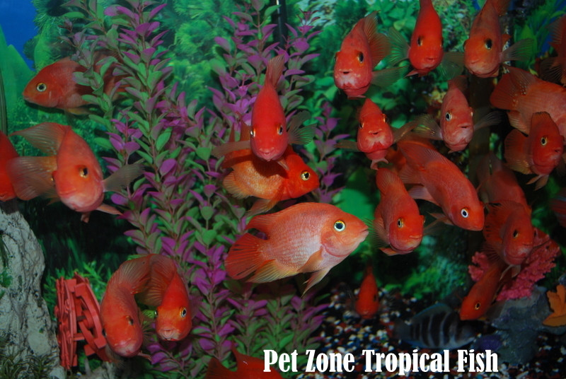 Freshwater tropical fish king kong parrot cichlid for sale for Parrot fish for sale