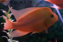 Red devil cichlid amphilophus labiatus pet zone for Red devil fish for sale