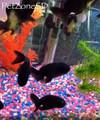 Black Ranchu Lionhead Goldfish