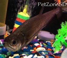 Predator fish for sale payara vampire tetra for Vampire fish for sale