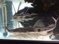 Sturgeon Catfish / Zorro Catfish (Platystomatichthys sturio) - Medium