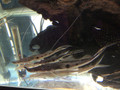 Sturgeon Catfish / Zorro Catfish (Platystomatichthys sturio) - Large