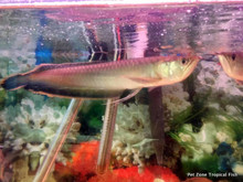 Black Arowana, also known as the Blue Arowana.  Current pic taken as of Dec. 1st, 2016.