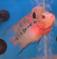 Red Dragon Flowerhorn - 002