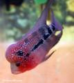 Red Dragon Flowerhorn - O