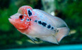 Red Dragon Flowerhorn, F