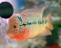 Red Dragon Flowerhorn, V
