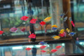 GloFish Tetra