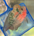 Short Body Red Dragon Flowerhorn, Q