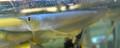 Wild-Caught Silver Arowana