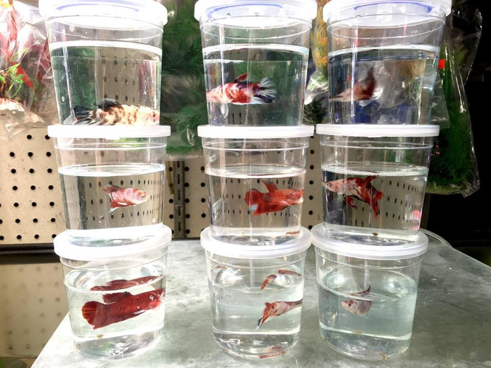 Freshwater fish for sale koi betta fish for Betta fish for sale online
