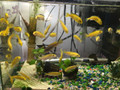 Electric Yellow Lab Cichlid - Fry