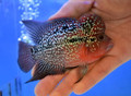 Red Dragon Flowerhorn - KS