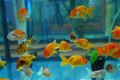Ranchu Goldfish - Assorted