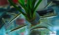 Siamese Algae Eater