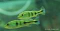 Kelberi Peacock Bass, Fry