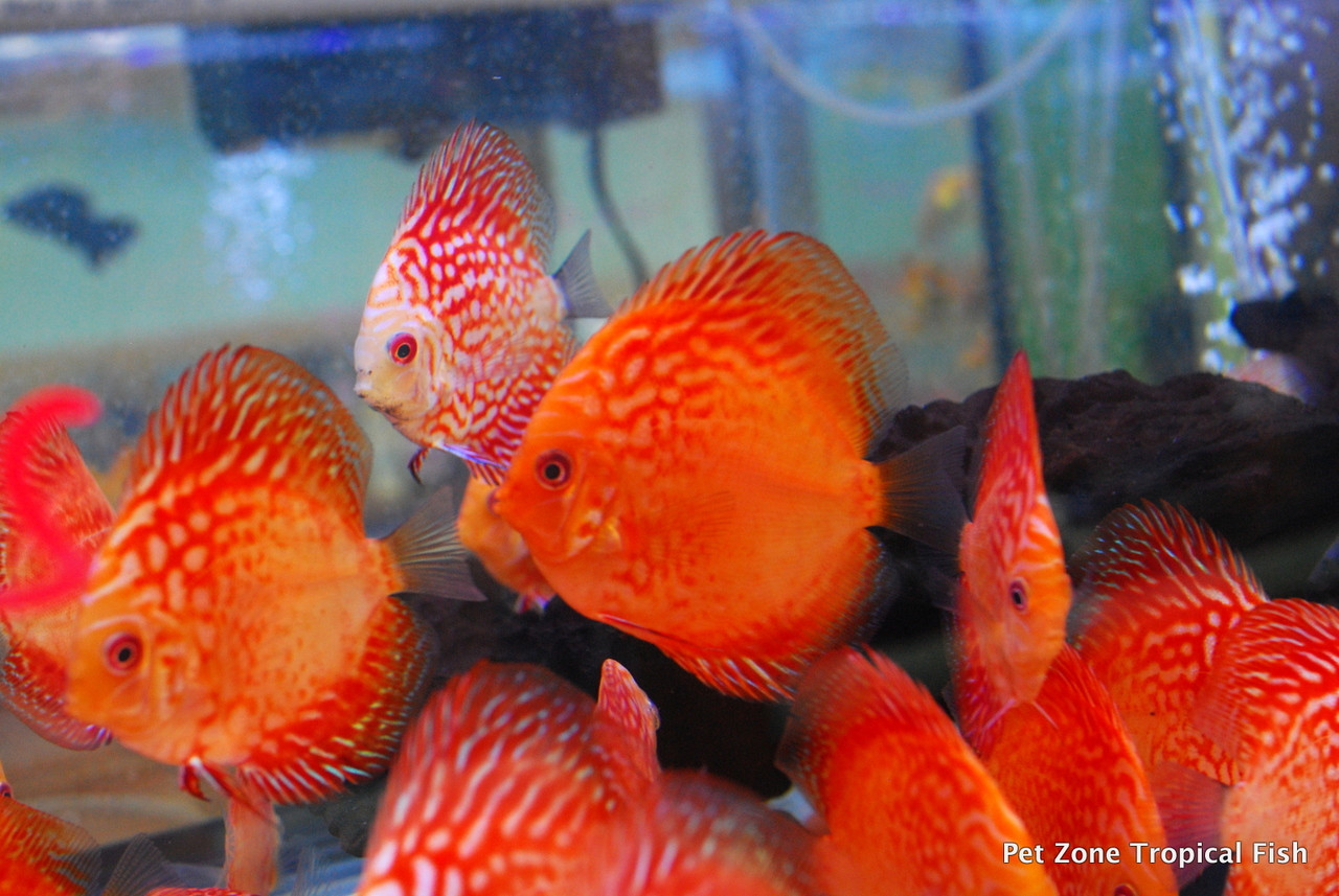 New Discus Fish in Stock - March 2017 - Pet Zone Tropical Fish - San ...