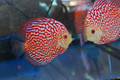 Pigeon Blood Discus, XL