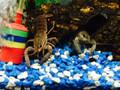 Blue Lobster - Cherax quadricarinatus