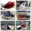 Dumbo Betta Fish (Big Ear Betta / Elephant Ear Betta Fish)