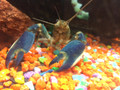 Bluemoon Lobster