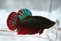 Plakat Betta (Short-tail Betta)