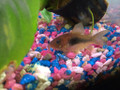 Bronze Cory / Green Corydoras Cory Cat