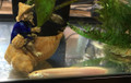 Golden Dojo Loach - Large