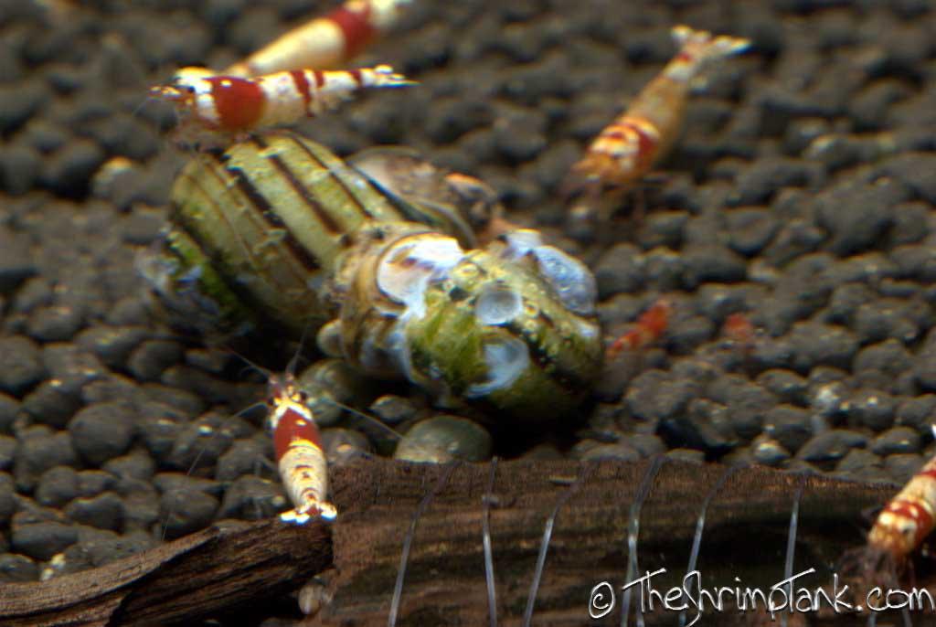 asolene-spixi-snail-4.jpg