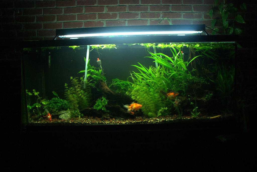 Goldfish Planted Tank Decoration Zen Aquarium
