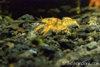Orange Dwarf Crayfish (CPO)