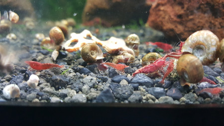 Fire Red Shrimp are as easy to keep as Cherry Shrimp!