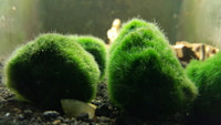 Marimo Moss Ball Algae