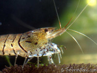 Tiger Shrimp  (10 pack with free shipping)