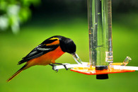 Oriole Feeder OR-1