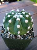 Echinopsis Fuzzy Cactus Plant