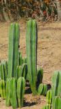 Pachycereus Marginatus Cactus Plant