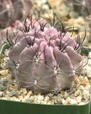 Neochilena Jussieui Cactus Plant