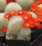 Rebutia Albipilosa Cactus Plant