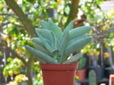 Crassula Falcata Propeller Plant