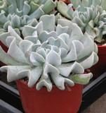 Echeveria Topsy Turvey Succulent