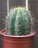 Helianthocereus Terscheckii Cactus Plant