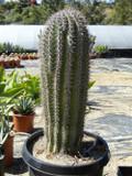 Saguaro Cactus Plant