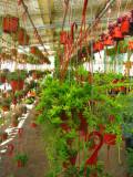 Hanging Hatoria Drunken Dream  Plant