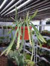 Hanging Lepsicum Cruciforme Plant