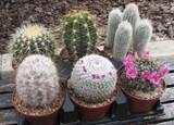 Six Pack Oversized Cactus Plants