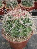 Fish Hook Barrel 5-6 inches Cactus